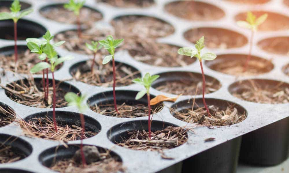 First Texas Cannabis Crop Set To Be Planted In Austin